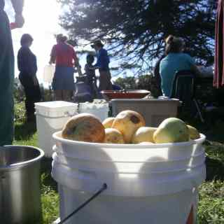 Picking apples to make cinder