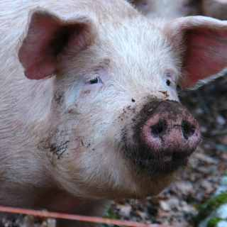 Image of pig with a dirty snout