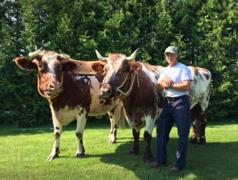 Mike and Jake (a team of Durham oxen) with Rick