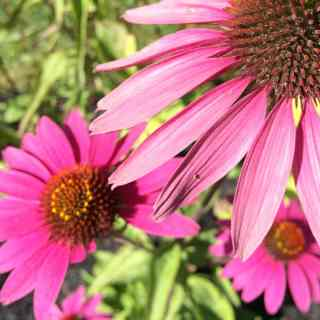Pink Echinacea flowers in the sunlight