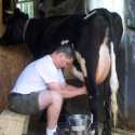 a student milk a black and white holstein cow to collect milk for use in the raw cheesemaking course
