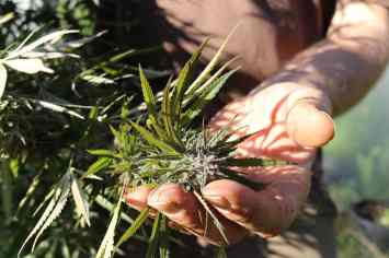 Doug holds a hemp plant in his hand