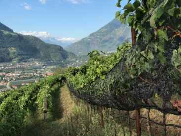 rows of grapevines in the vineyard in the foreground opening up to a sweeping view of the Italian Alps in the background