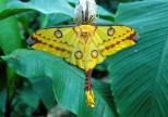 farfalla cometa del Madagascar