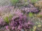 Calluna vulgaris -Brughiera di Gaggio