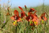 Fynbos: Gladiolus alatus - Abu Shawka
