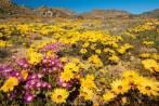 Flowering namaqua daisies, Namaqualand,