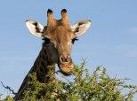 Giraffa bruca acacia
