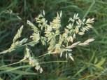 graminacea fiorita