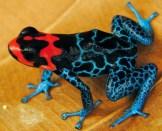 Ranitomeya amazonica