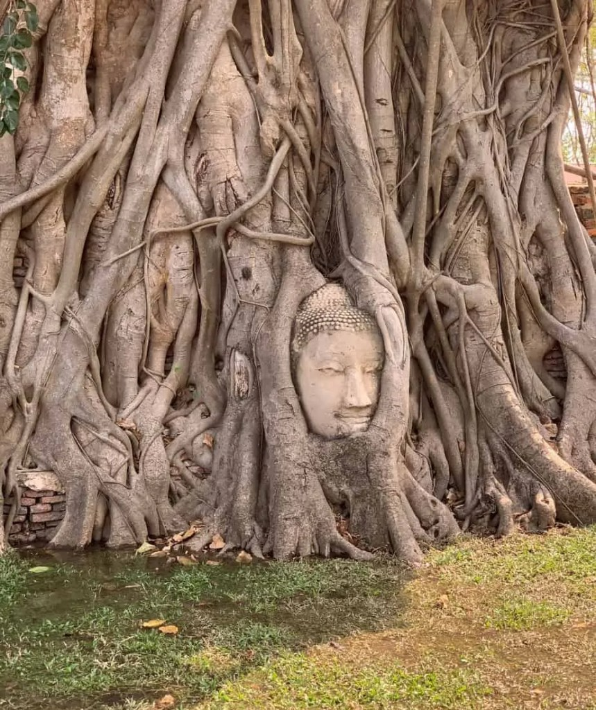 Buddha growing in fig tree Wat Maha That Thailand