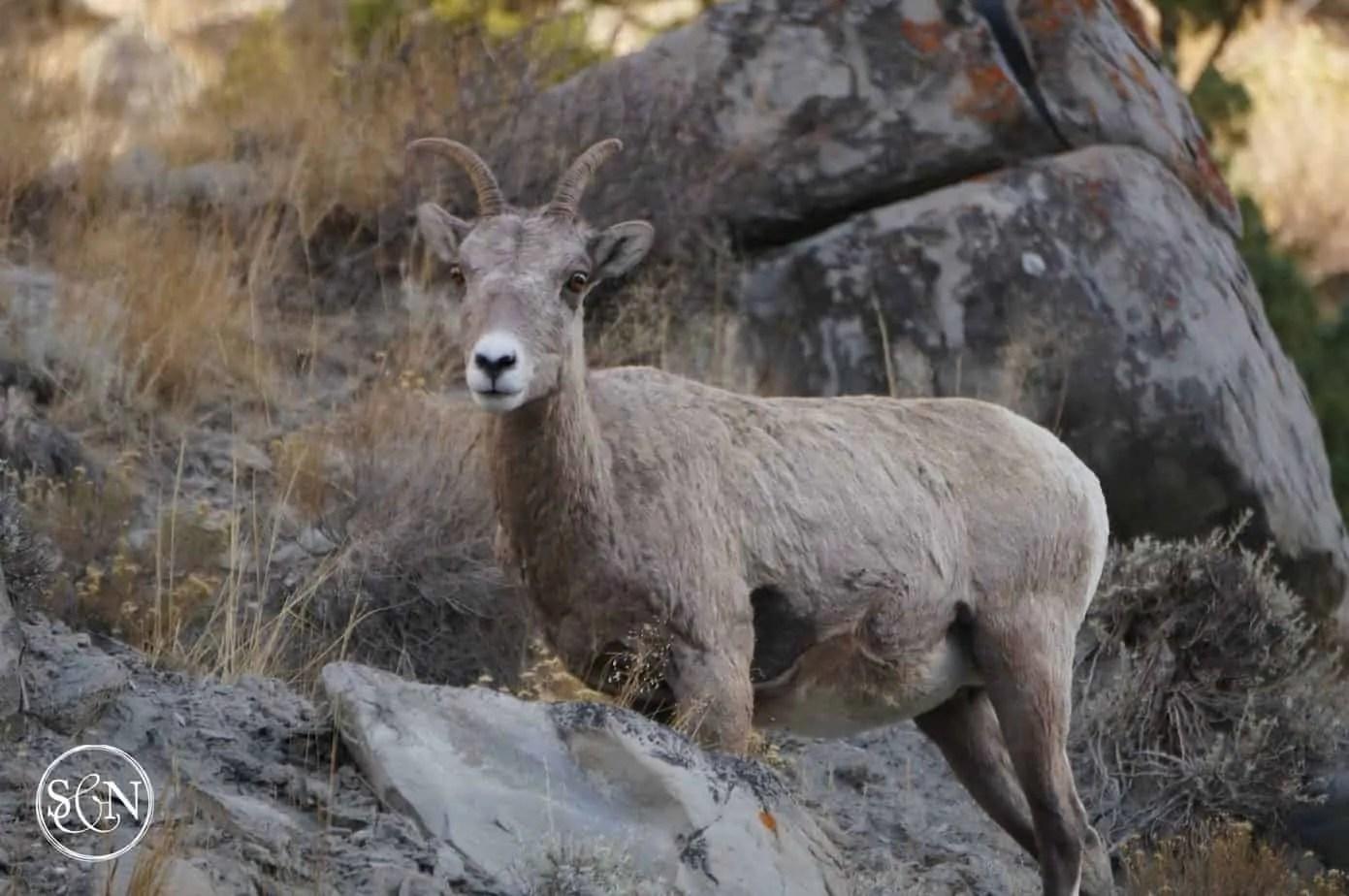 Yellowstone National Park Big Horn Sheep