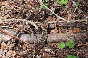 Snake along the trail