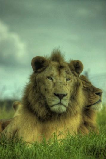 Regal Lions HDR