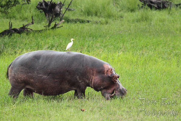 Hippo with Egret