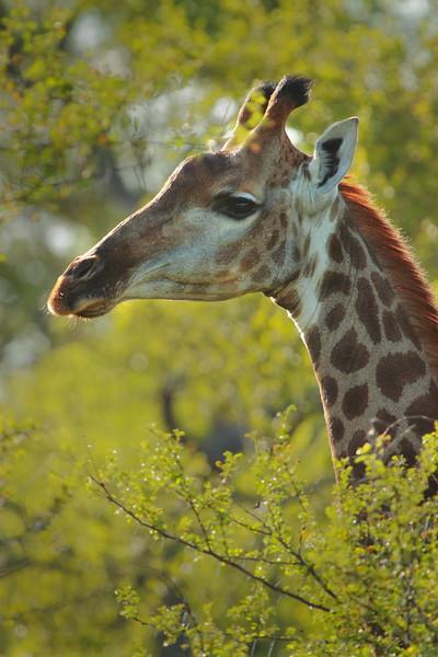 Giraffe looking back