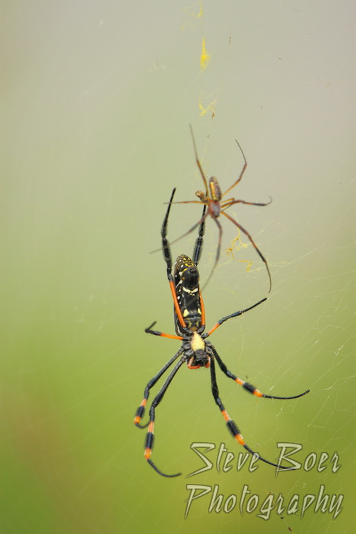 Golden Orb Spiders