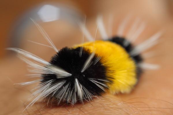 Wooly Bear Caterpillar on my hand
