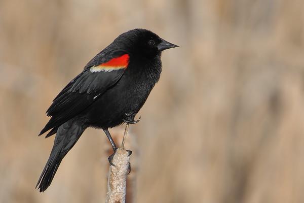 Red-winged Blackbird closeup