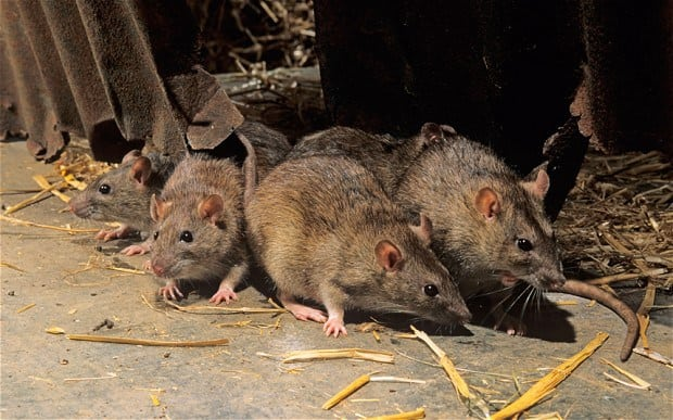 Image result for city rats