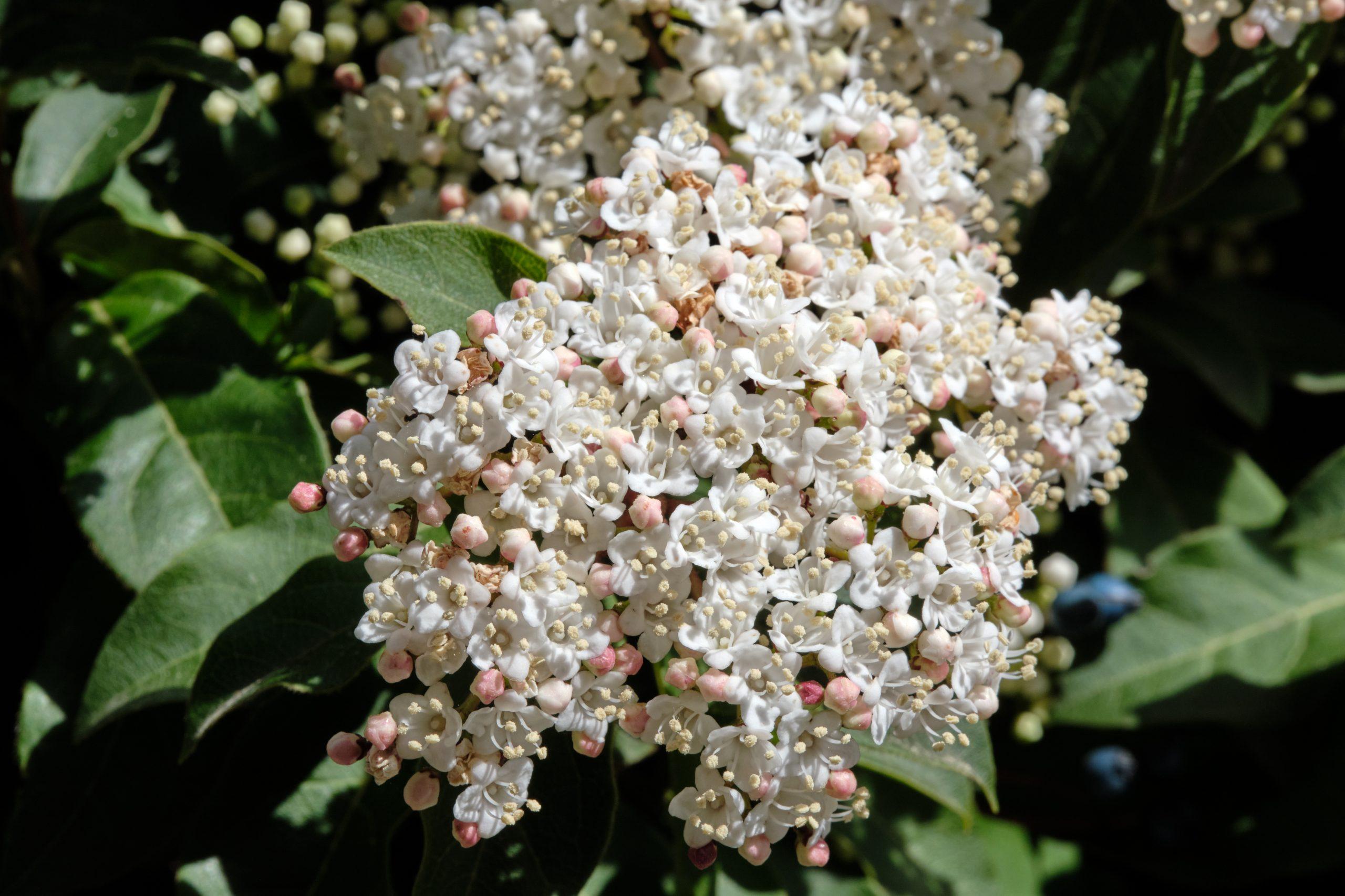 Mystery Flowering Bush 8 April 2021 Oregon Copyright Steve J Davis