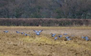 Stock doves