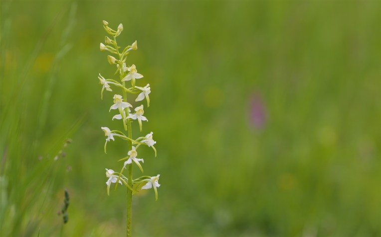 Greater butterfly orchid
