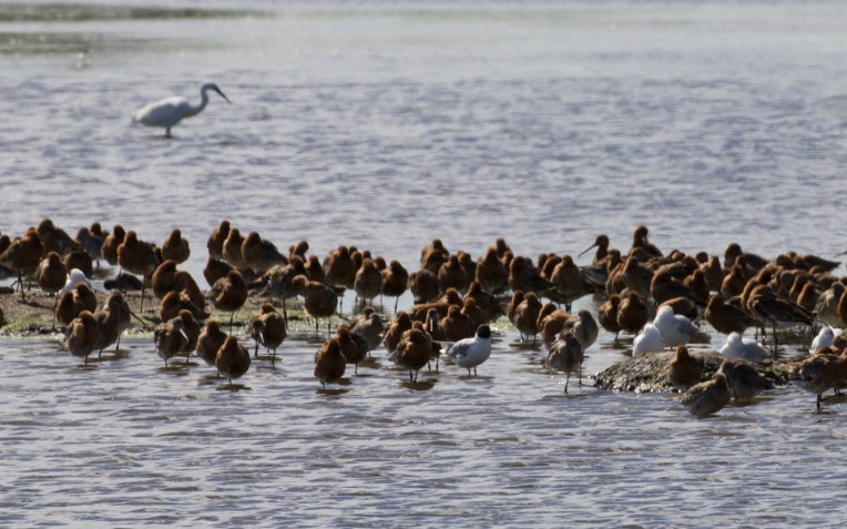 Bonaparte's gull at the centre of a flock of roosting black-tailed godwits on the East Flood