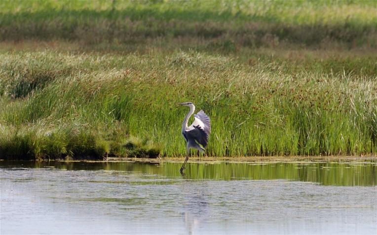 Grey heron landing on the East Flood