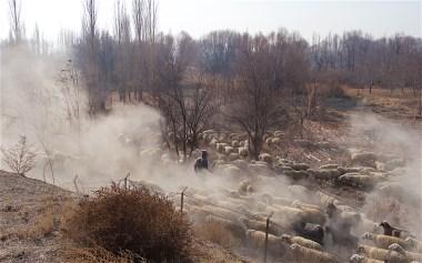 Dusty sheep flock passing Çatalhöyük
