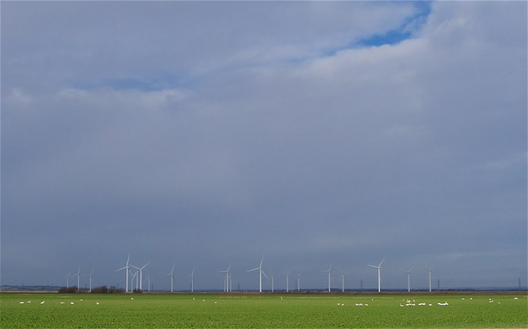 Mute swans feeding on the rich green fields of the Romney Marshes