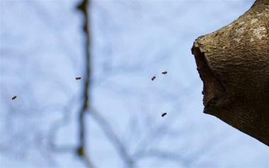 Honey bees in a beech tree