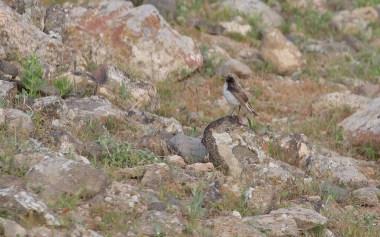 Female black-eared wheatear
