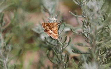 Day flying moth 2