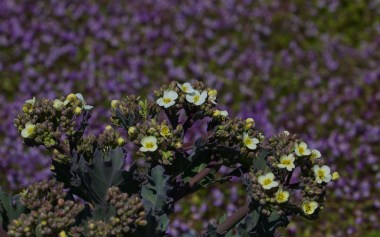 Sea kale coming into flower