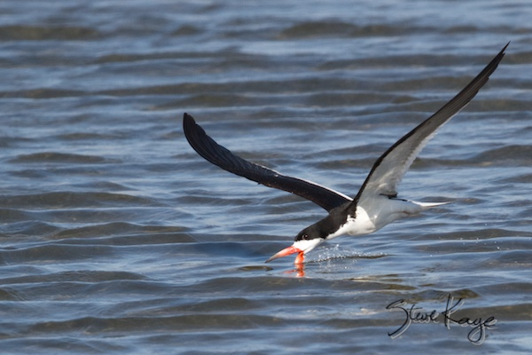 Black Skimmer, Annual Report 2013, by Steve Kaye