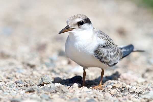 Least Tern Juvenile, Annual Report 2013, by Steve Kaye