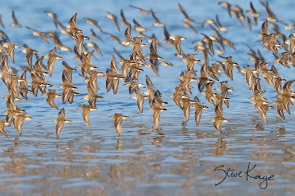 Sandpipers, Annual Report 2013, by Steve Kaye