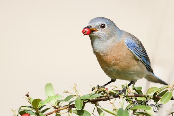 Western Bluebird Female Eating a Berry