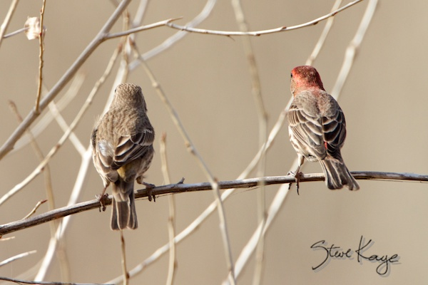 House Finch, Male & Female