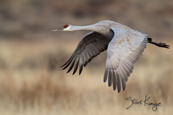 Sandhill Crane, photo in article - Steve Kaye's Weird Career