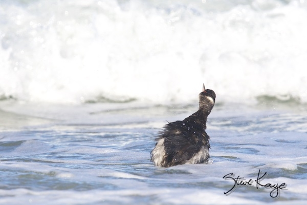 Eared Grebe, (c) Photo by Steve Kaye, in post 3 choices