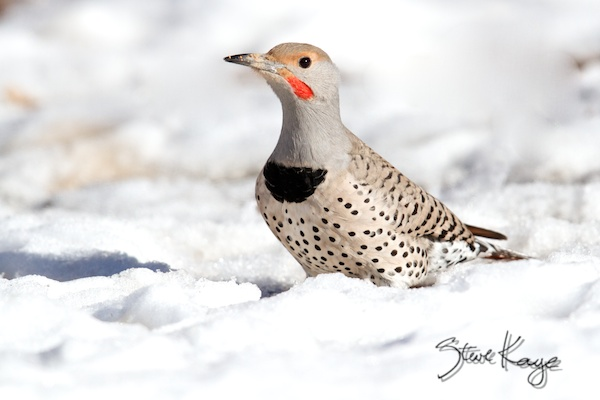 Red-shafted Northern Flicker, Male, in Bird Photos 1, Photo by Steve Kaye