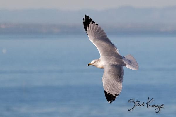 Ring-billed Gull, in Bird Photos 1, Photo by Steve Kaye