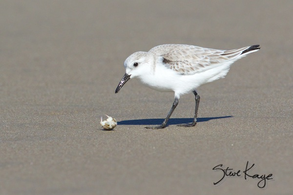 Sanderling with Sand Crab, in Bird Photos 1, Photo by Steve Kaye