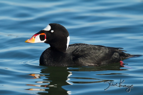 Surf Scoter, Male, in Bird Photos 1, Photo by Steve Kaye