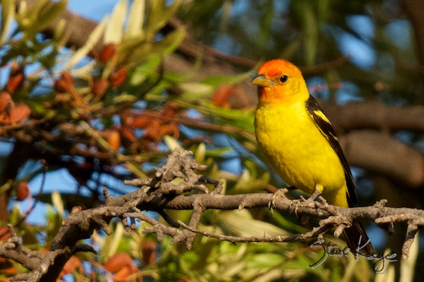 Western Tanager, in Bird Photos 1, Photo by Steve Kaye