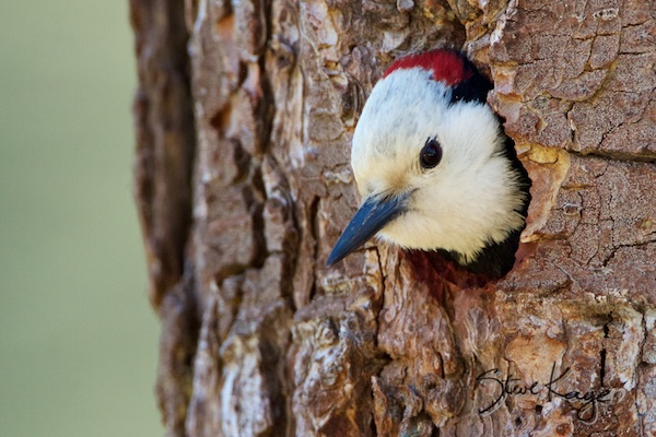 White-headed Woodpecker, Male, (c) Photo by Steve Kaye
