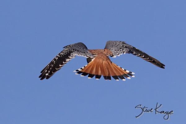 American Kestrel, Male, Flying Away, (c) Photo by Steve Kaye, in blog post - Nice Tail