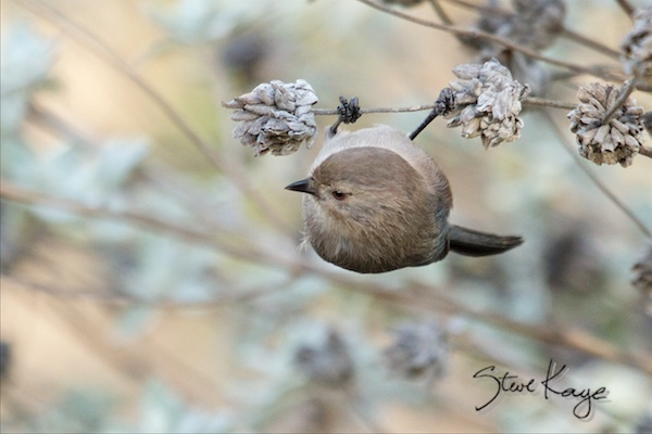 Bushtit, Male, (c) Photo by Steve Kaye, in Bird Photos 1, Photo by Steve Kaye